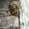 Pygmy owl in Costa Rica