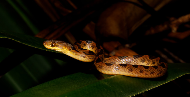 Northern Cat-eyed Snakes are arboreal and nocturnal and lurk near ponds trying to catch frogs