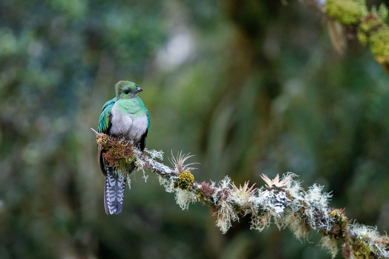 The birds are active in the early morning when the temperatures are still cool in the highlands of Costa Rica