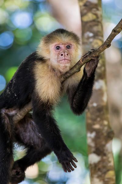 Capuchin Monkey Resting on Branch