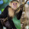 Capuchin Monkey Resting on Branch