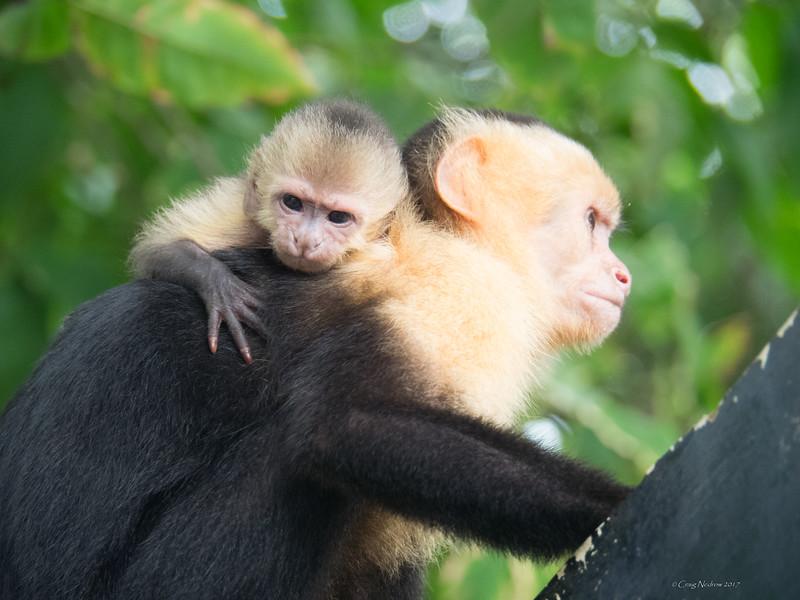 Capuchins at Manuel Antonio