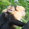 Capuchins at Manuel Antonio