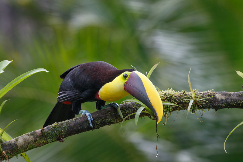 Black-mandibled Toucans have bicoloured yellow and brown bills and are the largest toucan species in Costa Rica
