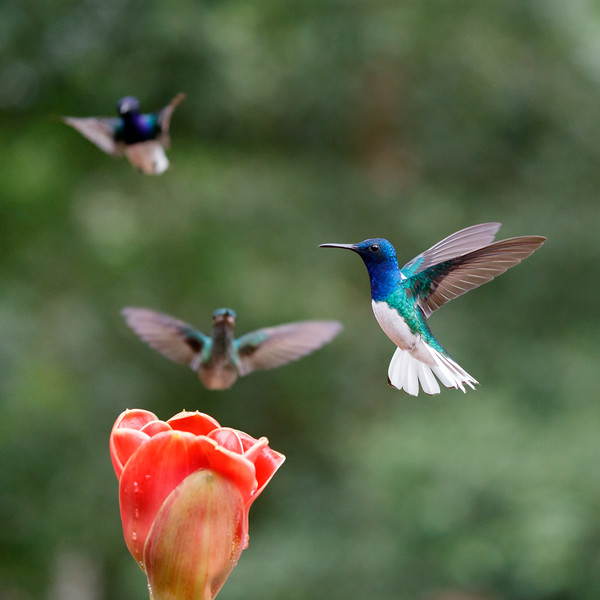 White-necked Jacobins queueing up to feed