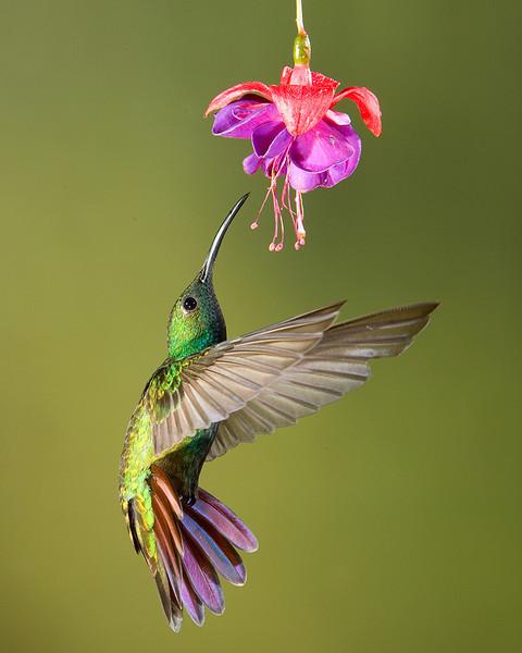 Greeb-Breasted Mango Hummingbird