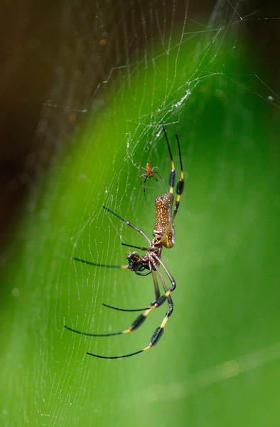 A female Orb-weaver Spider with the tiny male in the web above her