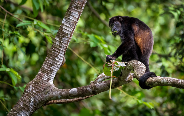 Mantied Howler Monkey