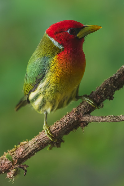 Red Headed Barbet (male)