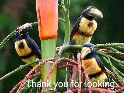 Collared Aracari Toucans