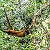 Spider monkey, Cano Negro River