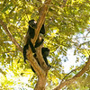 Lounging Howler Monkeys