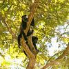 Lounging Howler Monkeys