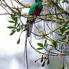 Resplendent Quetzal on wild Avocado tree