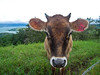Cow in a pasture, somewhere in Costa Rica