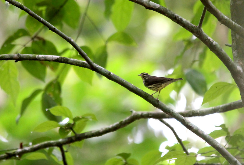 """Waterthrush"" 