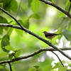 "In a New Light: Costa Rica - ""Waterthrush"""