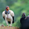 King Vultures have black and white plumage over most of their bodies