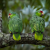 Red Lored Parrots