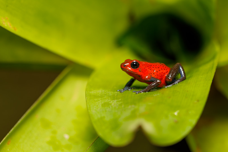 """A tiny (under 1 inch long) but brightly coloured frog, a """"blue jeans"""" morph of the Strawberry Poison Dart Frog"""