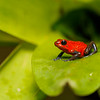 "A tiny (under 1 inch long) but brightly coloured frog, a ""blue jeans"" morph of the Strawberry Poison Dart Frog"