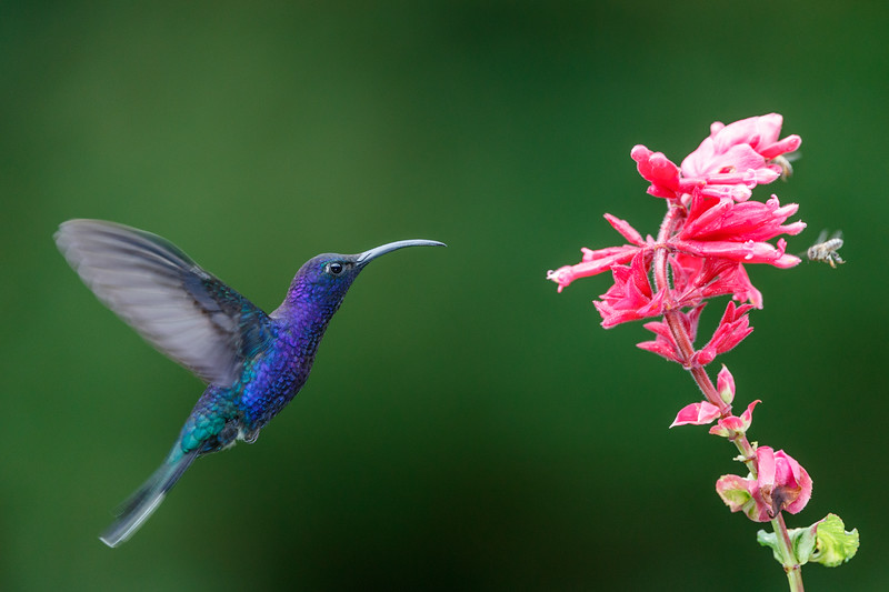 A male Violet Sabrewing