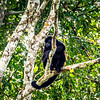 Howler Monkey, Cano Negro River tour