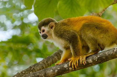 Squirrel Monkey