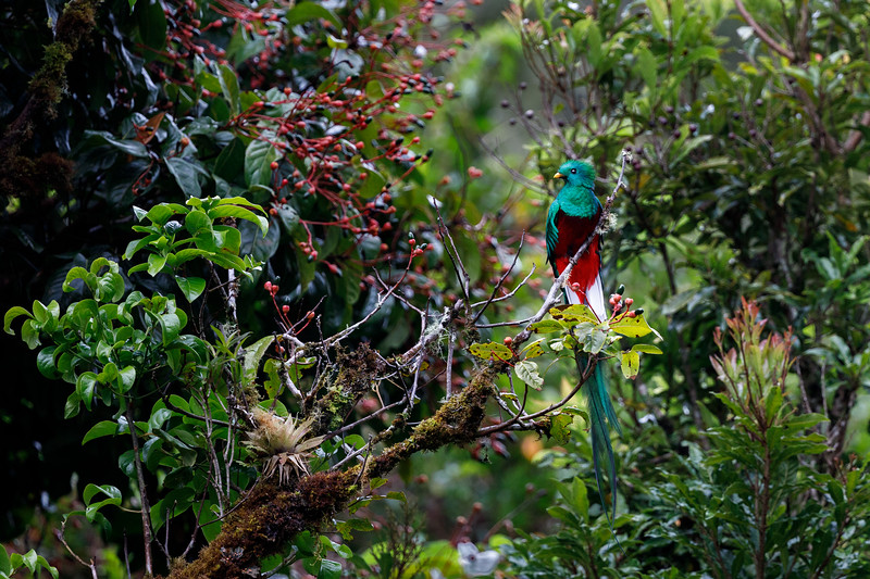 A holy grail for birders, the appropriately named Resplendent Quetzal