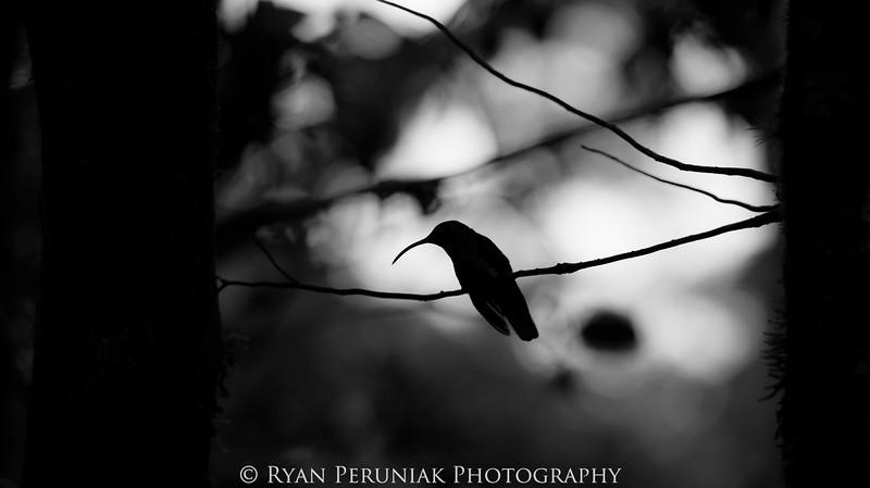 Resting Hummingbird, Monteverde