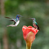 White-necked Jacobins sharing a flower