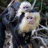 Mother and Child Capuchin Monkeys