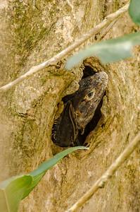 Tree Lizard at Home