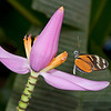 Butterfly on Banana Flower