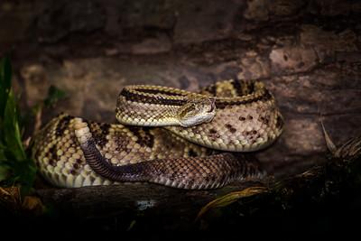 Costa Rican Rattlesnake