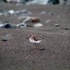 In a New Light: Costa Rica - Last Sandpiper