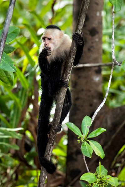 Reflective White-Faced Capuchin Monkey