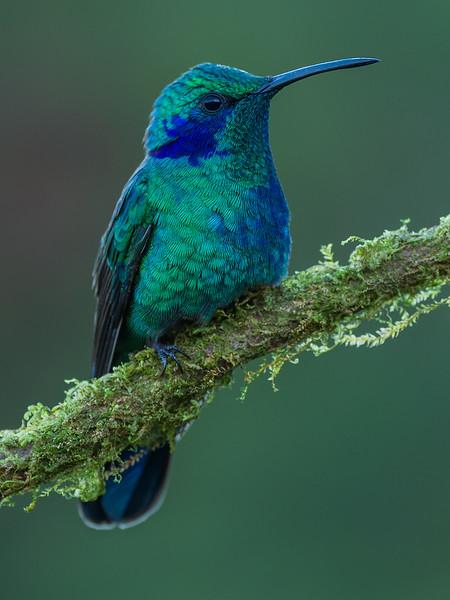 Violet Ear Hummingbird (female)