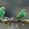 A pair of Golden-browed Chlorophonias - gorgeous small birds