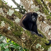 Howler monkey, Cano Negro River