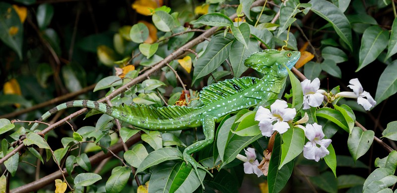 Emerald Basilisk lizards are remarkably well camouflaged and are usually found near water