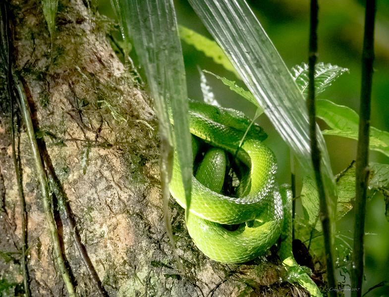 Side-striped palm pit viper, Monteverde