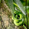 Side-striped palm pit viper, Monteverde