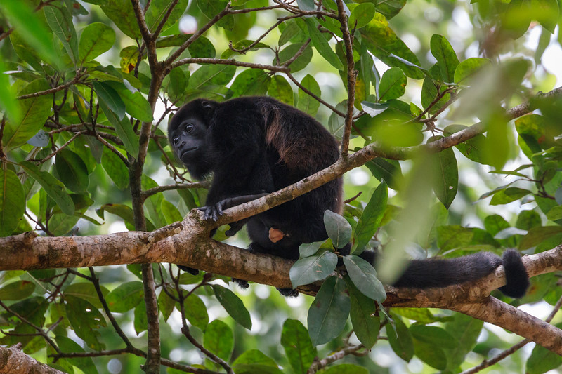 Mantled Howler Monkeys are named after the fringe of long brown hair on their sides and lower backs