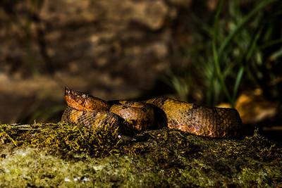Hog-nosed Viper