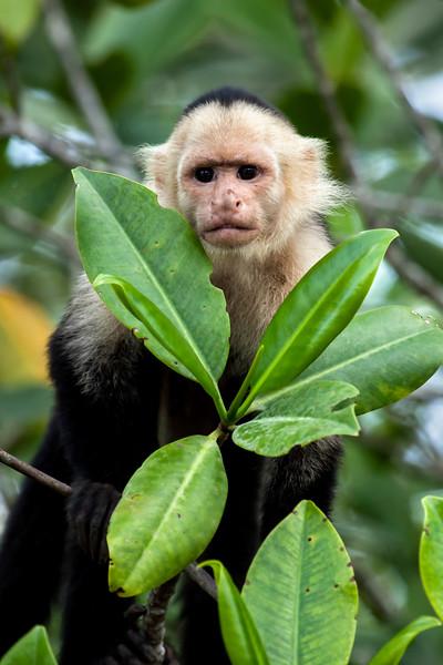Peering White-Faced Capuchin Monkey