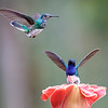 Male and female White-necked Jacobins