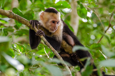 Capuchin Observing Tourists at Lunch