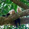 White-faced Capuchins are highly intelligent monkeys and are very sociable