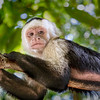 Capuchin Monkey X